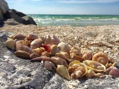 sea shells on Pass-A-Grille beach St Pete Florida