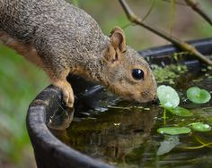 Going For a Drink squirrel