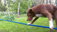 gifak-net:  Video: Ozzy the Dog Does Handstand on Rope