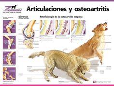 Ariculaciones y osteoartritis #veterinario #saludcanina #infografía