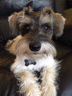 Aww this is Clover a super adorable mini Schnauzer with wonderful markings and a face and eyes that can melt your Heart✨