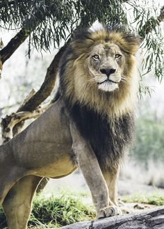 A second look photo of Izu, an African lion. Processed differently from the first. Beautiful Cats, Animals Beautiful, Lion Walking, Animals And Pets, Cute Animals, Lion Photography, Lions Photos, Lion And Lioness, Lion Love