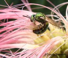 Green Sweat Bee (agapostemon), on the Mimosa Tree.  7/28/13
