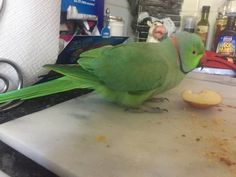 FOUND INDIAN RINGNECK PARAKEET: 07/04/2017 - Mount Druitt, New South Wales, NSW, Australia. Ref#: F29446 - #ParrotAlert #FoundBird #FoundParrot #FoundIndianRingneckParakeet