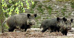 Passen gut auf den Nachwuchs auf: drei Wildschweine mit den kleinen Frischlingen, die vom Laub kaum zu unterscheiden sind.