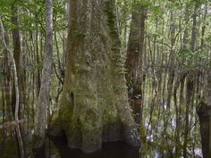Moss-covered tree in the virgin (original and undeveloped) swamp at the Audubon Center at Beidler Forest, a nature preserve, and wildlife sanctuary frequented by naturalists and photographers near Harleyville, South Carolina, outside Charleston | Library of Congress