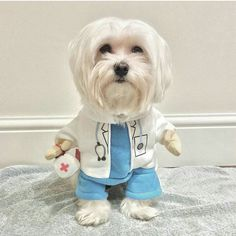 Maltese Poodle, Maltese Dogs, Funny Dogs, Cute Dogs, Akira, Haha, Cute Animals, Puppies, Pet Stuff