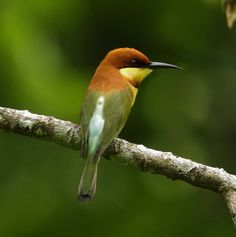 Chestnut Headed Bee Eater | by gary1844