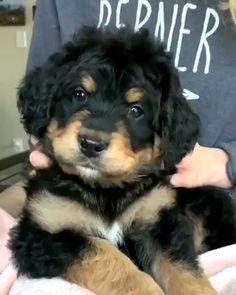 Bernese Mountain Dog meets Poodle ♥️This incredible breed is devoted, loving, intelligent and energetic. If you are looking to add a furbaby to your loving home please visit our website! Cute Baby Dogs, Cute Dogs And Puppies, Cute Baby Animals, Pet Dogs, Funny Animals, Poodle Mix Dogs, Doggies, Schnoodle Dog, Bernedoodle Puppy