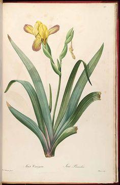 37945 Iris variegata L. / Redouté, P.J., Les Liliacées, vol. 5: t. 292 (1805-1816) [P.J. Redouté]
