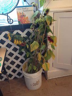 Bucket of sunflowers cut to child eye level