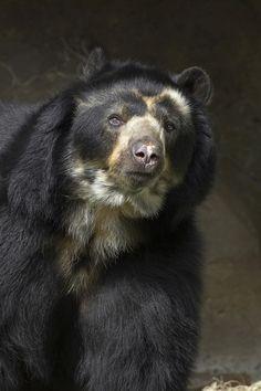 Spectacled bear ~ Ai, meu Deus, que lindo esse!!!!