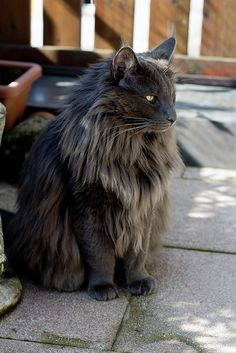Norwegian Forest Cat. (one day I will own one of these majestic beasts) maybe one of the only cats I will go through my allergy for... So pretty and is as big as a dog