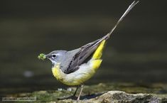 The grey wagtail - spotted two on morning walk next to a stream and got very excited! Grey Wagtail, British Garden, Sky Landscape, Yorkshire Dales, Little Birds, Bird Watching, Natural World, Bird Feathers, Butterflies