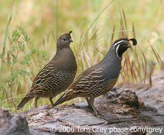 california quail family - Google Search