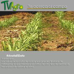 #AnotaElDato Sabías que las raíz de  la planta de caña de azúcar abona el suelo.