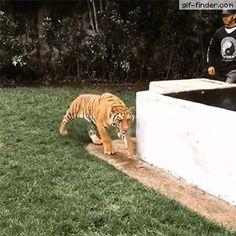 El susto que se lleva el tigre gif-Imagen Graciosa de Hoy nº 88269