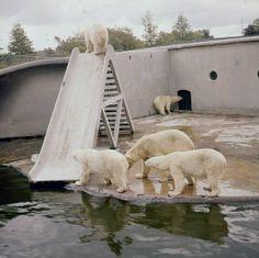 IJsberen te Diergaarde Blijdorp in het oude verblijf, mei 1961. In 2000 nam Diergaarde Blijdorp afscheid van de ijsberen Mien en Katrien. Het verblijf bij de brug over de vijver voldeed niet meer aan de eisen van deze tijd.