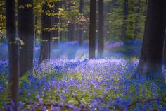 This magical forest in Belgium is covered in blue flowers in springYou can find Magical forest and more on our website.This magical forest in Belgium is covered in. Mystical Forest, Fantasy Forest, Magic Forest, Forest Art, Spring Forest, Blue Forest, Forest Flowers, Blue Flowers, Flowers Garden