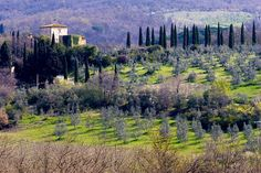 Olive Groves growing alongside Cypress trees leading to a farmhouse in Tuscany