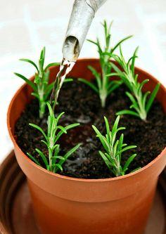 Rosmariini: istutus ja hoito | Meillä kotona Garden Plants, Home And Garden, Yard, Green, Nature, Gardening, Household, Branding, Inspiration