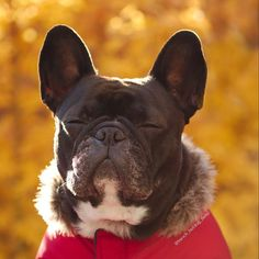 French Bulldog, Relaxing in the sun ☀️