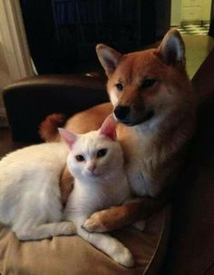 Shiba inu and kitty! Maybe they could get along?