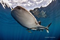 Whale Shark under lovely calm surface in Cenderawasih Bay - West Papua Shark Conservation, West Papua, Wale, Underwater World, Ocean Life, Fishing Boats, Amazing Nature, Sea, Animals
