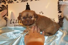 I am a cute Shih Tzu puppy, looking for a home on NextDayPets.com!