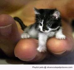Records holder of the world's smallest cat