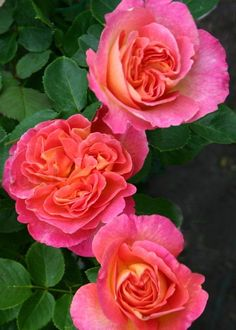 "~"" La Passionata (DELapo) - Floribunda rose - Pink, reverse old gold - Mild fragrance - Delbard, 1997"