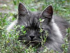 Free stock photo: Grey Cat, Kitten, Cute - Free Image on Pixabay - 1262684