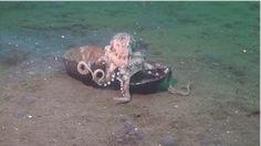 polpo usa una noce di cocco come armatura