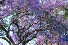 Jacaranda tree ~ can grow up to 40 ft. tall and develops a large spreading canopy. Wispy fern-like deciduous foliage, large trumpet-shaped lavender flowers from April-August. Zones 9-11