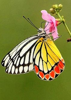 Butterfly by Murali Aithal