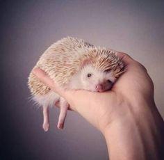 moi     Hedgehog