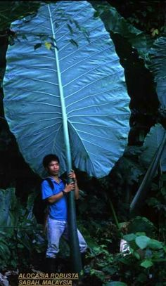 I would LOVE to see ONE of my Thai Giants do this, this year. Not going to happen, sadly. Big Leaf Plants, Foliage Plants, Cool Plants, Trees To Plant, Unusual Plants, Rare Plants, Exotic Plants, Elephant Ear Plant, Elephant Ears