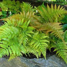 Gardening Autumn - Photo de Fougère - Dryopteris erythrosora - With the arrival of rains and falling temperatures autumn is a perfect opportunity to make new plantations