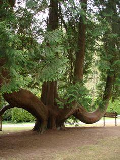 Très joli arbres à Blarney Castle...