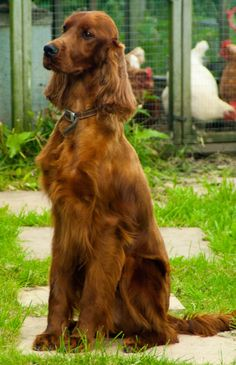 For Future Reference There Are Any Irish Setter Breeders The ...