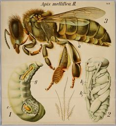 (Honey bee from the insect order, Hymenoptera^. BibliOdyssey: 2012-04-01