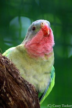 Princess parrot. I would love to see one of these beauties in the wild.