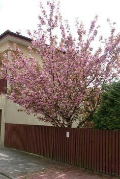 Kwitnąca wiśnia Kanzan