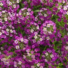 New for 2015 Dark Knight™ - Sweet Alyssum - Lobularia hybrid-rebloomer, fragrant, Masses of fragrant flowers grace mounded plants. Unlike most alyssum this one will bloom all summer, even in hot climates. Attracts Bees and butterflies Container Flowers, Container Plants, Container Gardening, Edging Plants, Border Plants, Colorful Flowers, Purple Flowers, Beautiful Flowers, Gardens