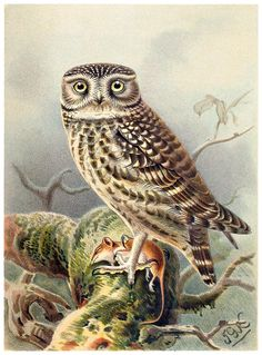 """Little Owl illustration by John Gerrard Keulemans, from """"Coloured figures of the birds of the British Islands vol. 1"""", by Thomas Littleton Powys (Lord Lilford), London, 1885."""