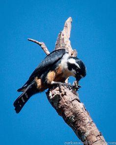 Black Thighed Falconet - Birds of Peninsular Malaysia