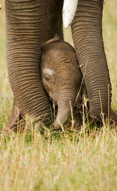 What's even cuter than an elephant? A baby elephant! Elephants Never Forget, Save The Elephants, Baby Elephants, Cute Baby Animals, Animals And Pets, Wild Animals, Beautiful Creatures, Animals Beautiful, Elephas Maximus