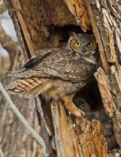 }{  Photo Great Horned Owl 22 by dawn6 .