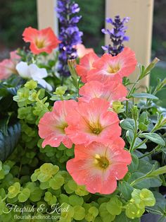 Coral petunias, creeping jenny, blue salvia, and white impatiens