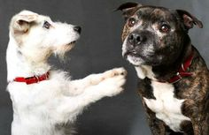 Blind Jack Russell and Seeing-Eye Pit Bull Companion Search for New Home After Being Abandoned